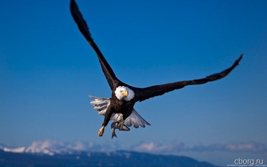 Bald Eagle (Haliaeetus leucocephalus) in flight with a fish